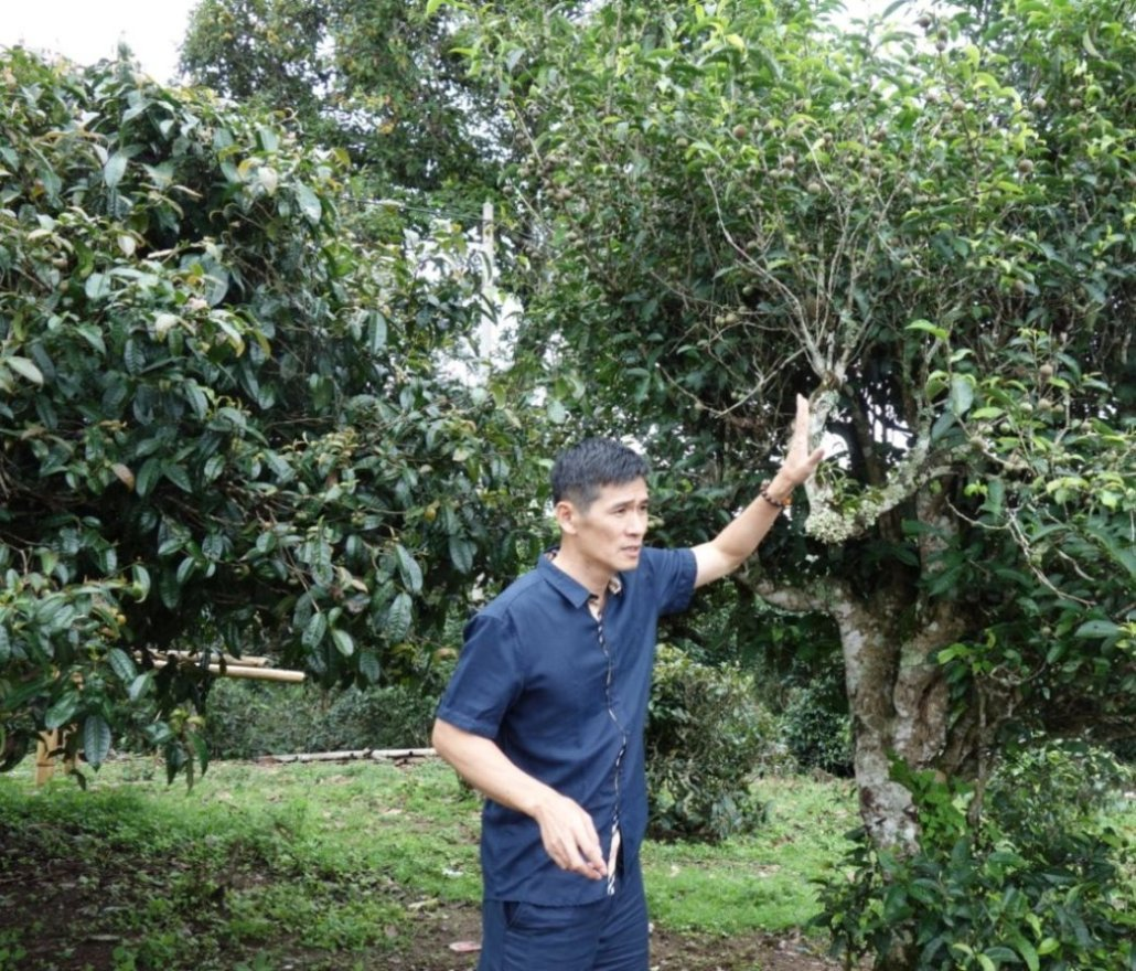 Shi Kun Mu a starobylý čajový strom (čín Gu Shu).